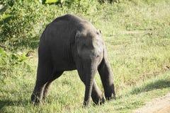 婴孩亚洲大象不平稳在脚 图库摄影