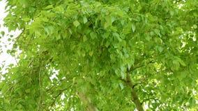 白杨树的叶子 股票视频