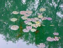 少量漂浮在水的莲花叶子 免版税库存照片