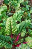 与红色茎的彩虹瑞士牛皮菜 库存照片