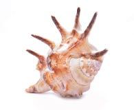 背景查出的贝壳白色 免版税图库摄影
