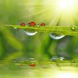 新鲜的早晨露水和瓢虫 库存图片