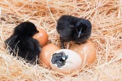 Беспомощный маленький цыпленок все еще влажный после насиживать Стоковые Фотографии RF
