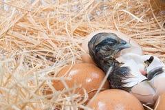 Беспомощный маленький цыпленок все еще влажный после насиживать Стоковые Фото