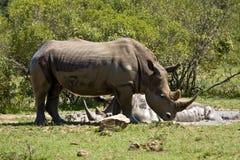 洗泥浴的野生白犀牛在克鲁格公园,南非 免版税图库摄影