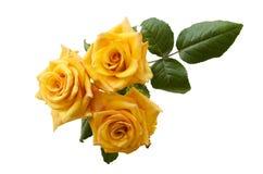 在白色背景隔绝的美丽的三朵淡黄色橙色玫瑰 库存图片