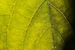 叶子静脉特写镜头 库存照片