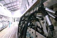 在牛奶农场的母牛 免版税图库摄影