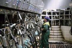 在牛奶农场的母牛 免版税库存图片