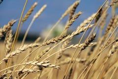 背景设计谷物纹理麦子 免版税库存照片