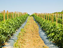 ферма засаживает томат рядков Стоковые Изображения