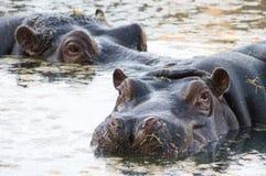 河马在水中 免版税库存图片