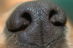 нос собаки Стоковые Изображения
