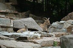 在灰色峭壁的山羊 图库摄影