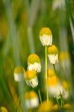在绿色麦子的春黄菊 库存照片