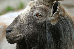 在动物园的山羊 免版税库存照片