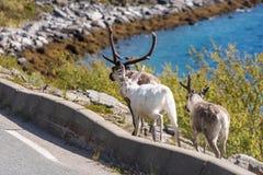驯鹿在芬马克郡,挪威 免版税图库摄影