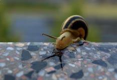 到达在墙壁边缘的蜗牛  库存照片
