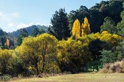 Золотые деревья тополя приближают к древесинам указывают, Австралия Стоковое фото RF