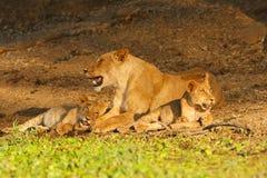 与崽的狮子 图库摄影