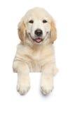 在白色横幅上的金毛猎犬小狗 库存照片