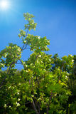 γαλαζοπράσινος ουρανός φύλλων ανασκόπησης Στοκ Φωτογραφίες