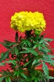 黄色万寿菊 库存图片