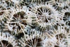 Макрос коралла мертвого моря Стоковая Фотография