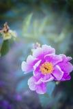 在被弄脏的叶子背景,关闭的桃红色牡丹花  库存照片