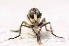 близкие весьма насекомые мухы другой разбойник хищника вверх Стоковая Фотография