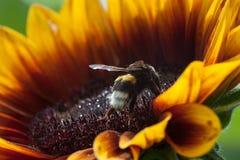 蜂本质夏天向日葵 库存照片