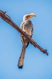 南部的黄色开帐单的犀鸟 库存图片