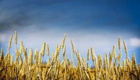 Χρυσές εγκαταστάσεις σίτου στο υπόβαθρο ουρανού, έμβλημα για τον ιστοχώρο με την έννοια καλλιέργειας Στοκ εικόνες με δικαίωμα ελεύθερης χρήσης