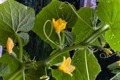 小黄瓜果实和花  免版税库存图片
