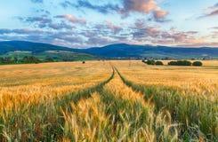 Земледелие - пшеничное поле Стоковые Изображения RF