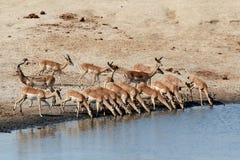 饮用的飞羚牧群 库存照片