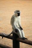 采取休息在篱芭的黑长尾小猴 滑稽的照片 克鲁格公园 免版税库存图片