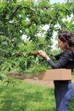 妇女采摘樱桃 库存图片