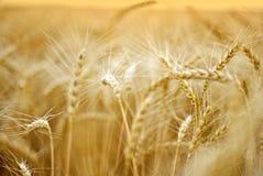 пшеница Стоковая Фотография