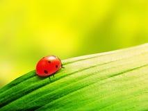 在叶子的瓢虫 免版税库存照片