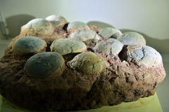 食草恐龙蛋化石 免版税库存照片