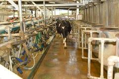 母牛进入流洒的挤奶 免版税库存照片