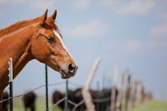 Άλογο και βοοειδή Στοκ Φωτογραφίες