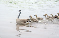 Птицы следовать мамой Стоковая Фотография RF