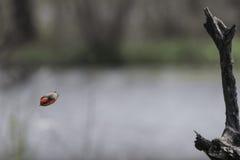 银朱的捕蝇器 免版税图库摄影
