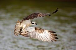白鹭的羽毛传染性的鱼 免版税库存图片