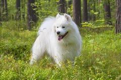 在木头的萨莫耶特人狗 免版税库存图片