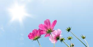 在蓝天的桃红色波斯菊花 免版税库存照片