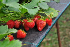 Σύγχρονο αγρόκτημα φραουλών Βιομηχανική καλλιέργεια Στοκ φωτογραφία με δικαίωμα ελεύθερης χρήσης