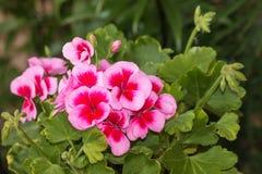 ροζ γερανιών λουλουδι Στοκ Φωτογραφίες